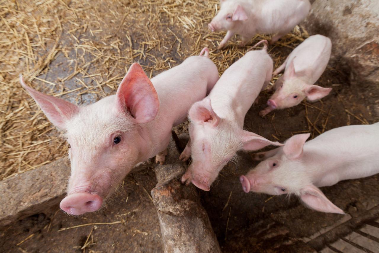 Почему свиноматка ест своих поросят